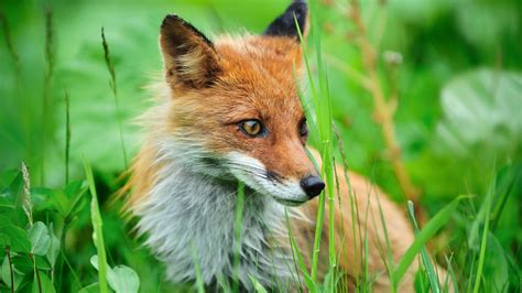 Animal Fox Wallpaper - fox animal wallpaper desktop backgrounds for