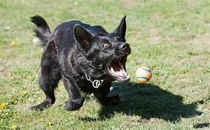 Schipperke - Dog Breed Information and Images - K9 ...