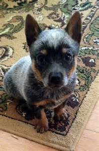 blue heeler dog breeds picture