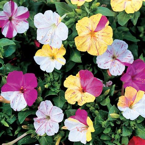 four o clock flower four o clocks gardening pinterest