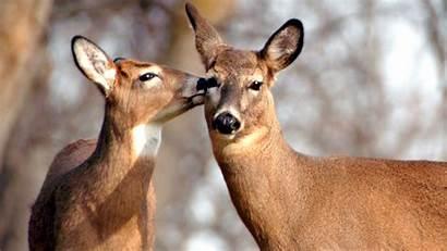 Deer Couple Animal Wallpapers Animals
