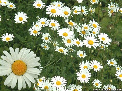 background blog daisy wallpaper
