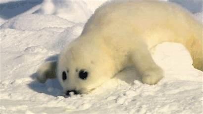 Seal Animals Seals Animal Gifs Funny Harp