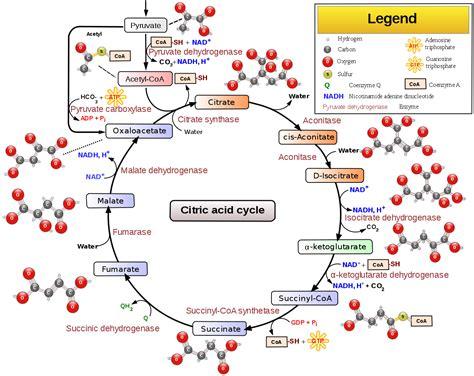 filecitric acid cycle  aconitate svg wikipedia