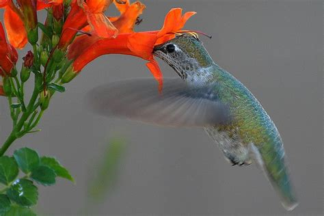 heat l for hummingbirds hummingbirds and pollination