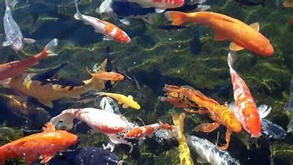 Koi Pc Wallpapers Fish Pond Japanese Garden