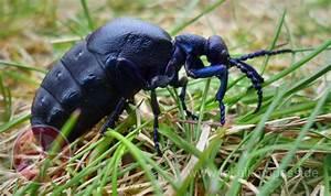 Schwarzer Käfer Im Haus : k fer mein erster dieses jahr ein schwarzer lk fer 1 d sseldorf ~ Somuchworld.com Haus und Dekorationen