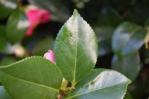 Camellia Japonica Winterhart : camellia japonica landscape architect 39 s pages ~ Eleganceandgraceweddings.com Haus und Dekorationen