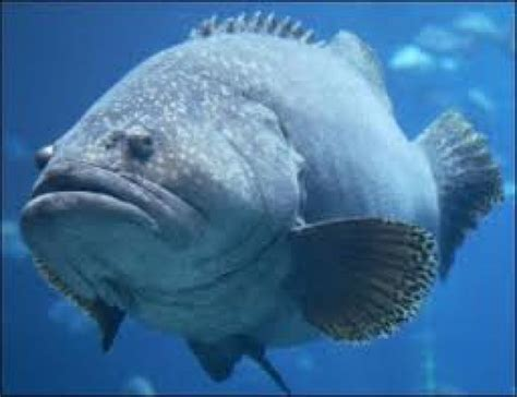 grouper fish giant fishing guard poisoning easily against common huge sting ad close