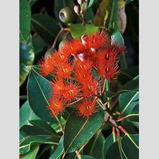 44 Best Images About Tasmanian Native Flora On Pinterest