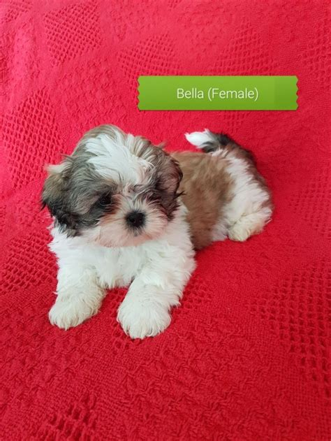 Pleased Shih Tzu Puppies For Sale Houston For Sale Houston Pets Dogs