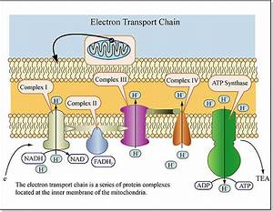 Chemiosmotic Theory And Atp Synthesis