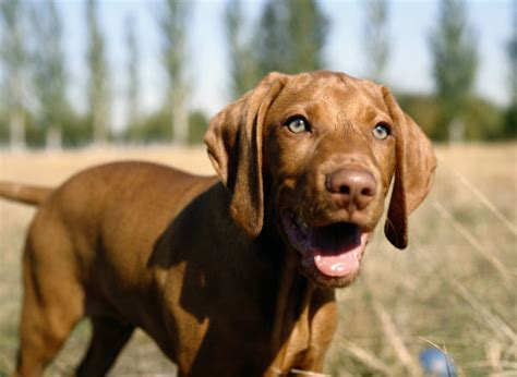 When Do Vizslas Shed Their Puppy Coat by 7 Things You Didn T About The Vizsla American