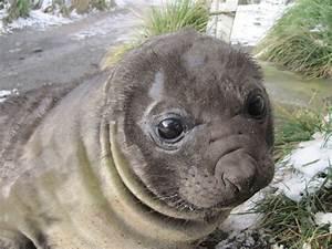 Elephant seals — Australian Antarctic Division