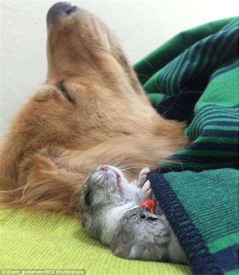 bob  golden retriever dog loves snuggling  hamster