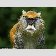Monkey With Moustache Is Entirely New Species  Daily Mail Online