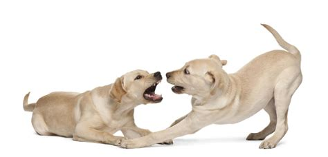 dog trainer dog play styles  aggression quick