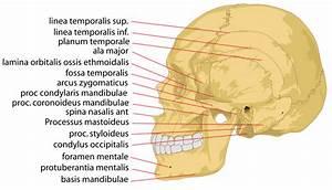 File Human Skull Side Details Svg