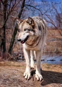 Happy Wolf deviantART