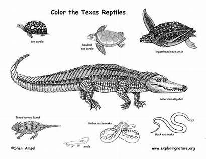 Coloring Reptiles Texas Reptile Pages Amphibians Mammals