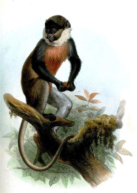 white throated guenon wikipedia