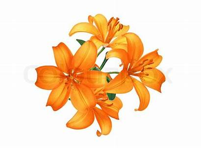 Orange Background Flowers Lily Isolated Lilies Tiger