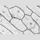 Human Cheek Epithelial Cells   200 x 142 jpeg 9kB