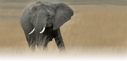 Elephants Awf Wildlife African Foundation Africa Elephant