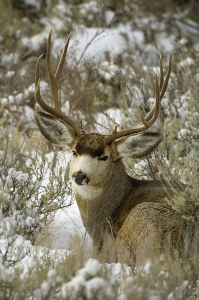 winter sage mule deer