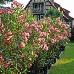 Kübelpflanzen Winterhart Bilder : oleander berwintern mein sch ner garten ~ Markanthonyermac.com Haus und Dekorationen