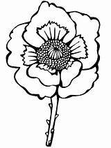 Coloring Pages Remembrance Poppy Flowers Colouring Anzac Poland Realistic Poppies Flower Veterans Printable Blossom Corn National Veteran Holiday Children Single sketch template