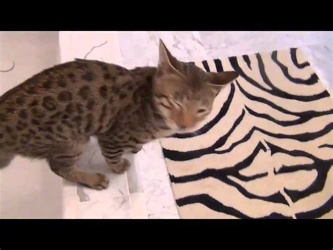 Savannah Cat 6 Months Old Funnycattv
