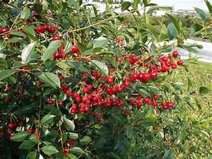 Taille De Cerisier : cerisier carmin jewel terra bor al vente d 39 arbustes ~ Melissatoandfro.com Idées de Décoration
