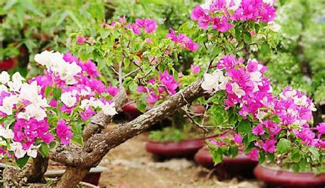 klasifikasi morfologi tanaman bunga kertas ilmu