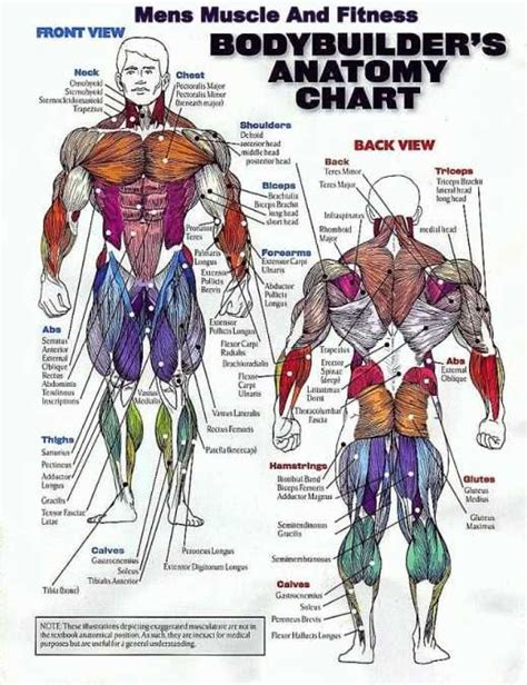 Their main purpose is to help us to move our body parts. Muscle Group Workout Chart - Can't Build Muscle? Want to know why? WebMuscleFitness.com | Muscle ...