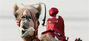 Course De Chameau : honteux les courses de chameaux avec jockeys robotis s au quatar semageek ~ Medecine-chirurgie-esthetiques.com Avis de Voitures