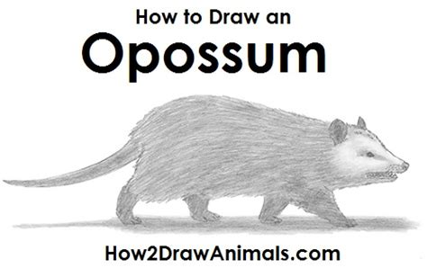 draw  opossum