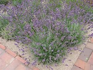 Verholzten Lavendel Schneiden : lavendel schneiden wichtige pflegetipps f r die sch ne ~ Lizthompson.info Haus und Dekorationen