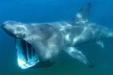 groups     sharks gather  north american