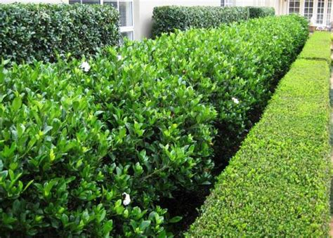 flowering hedges florida gardenia florida white flowering hedge pool landscape pinterest gardenias yards and future