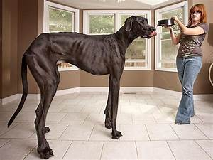 Guinness World Records 2013 World's Tallest Dog : People.com