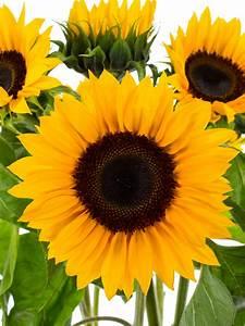 Welche Blumen Blühen Im August : sonnenblumen 39 sunrich orange 39 lang als schnittblumen saison im mai juni juli august und ~ Orissabook.com Haus und Dekorationen