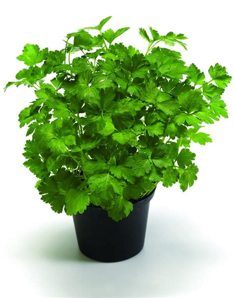 Herbs That Can Grow Inside by List Of 10 Herbs You Can Grow Inside Your Home Page 6 Of