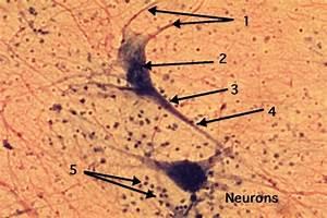 WebAnatomy: Neuron Histology 1