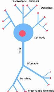 Process  Axon And Dendrite