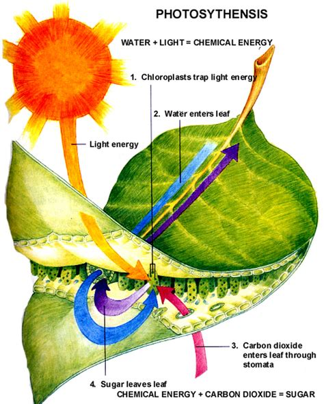 photosynthesis ms a science online