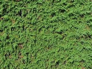 Bis Wann Hecke Schneiden : so finden sie die passenden heckenpflanzen ~ Frokenaadalensverden.com Haus und Dekorationen