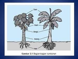 Organ Akar Dan Batang Tumbuhan