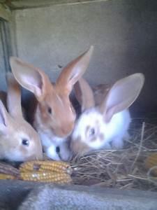 Petite Annonce Bretagne : lapins papillons crois s montauban de bretagne animaux lapins montauban de bretagne ~ Accommodationitalianriviera.info Avis de Voitures