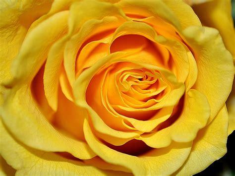 gelbe blumen bedeutung die welt austen die sprache der blumen